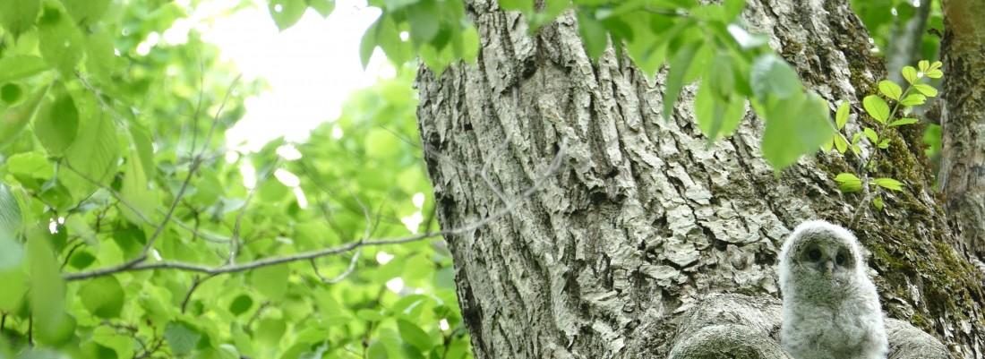 緑の森の大木の巣穴から可愛い顔を見せたエゾフクロウの赤ちゃん._3